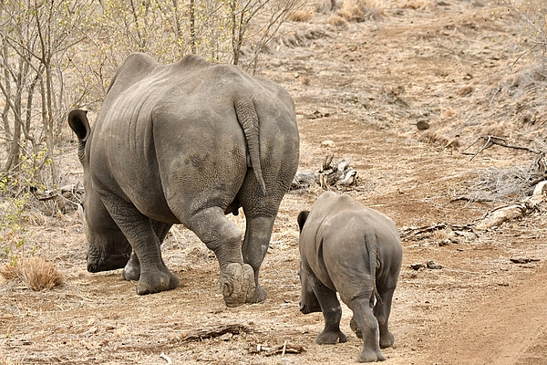 Rhino Pair Leaving Photograph by Jeff R Clow