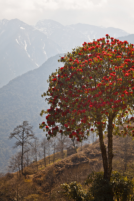 Rhododendron on mountain Photograph by Merten Snijders