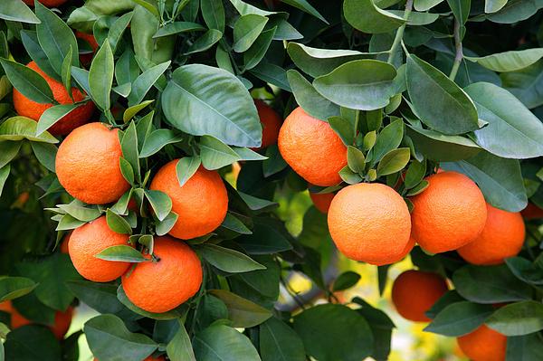 Ripe oranges growing on tree. Photograph by Rosemary Calvert