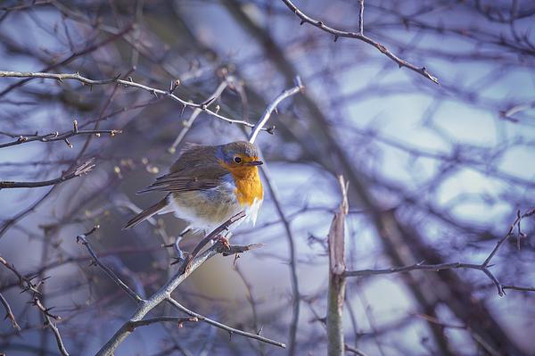 Robin Photograph by Daniele Carotenuto Photography