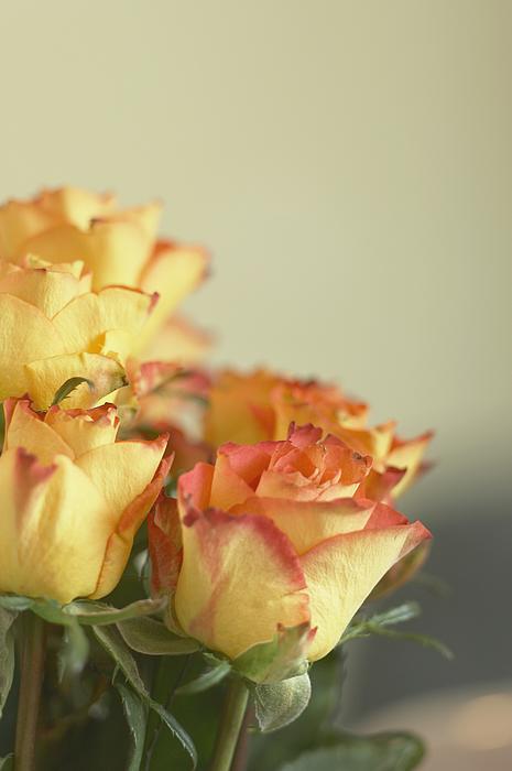 Roses Photograph by Heidi Coppock-Beard