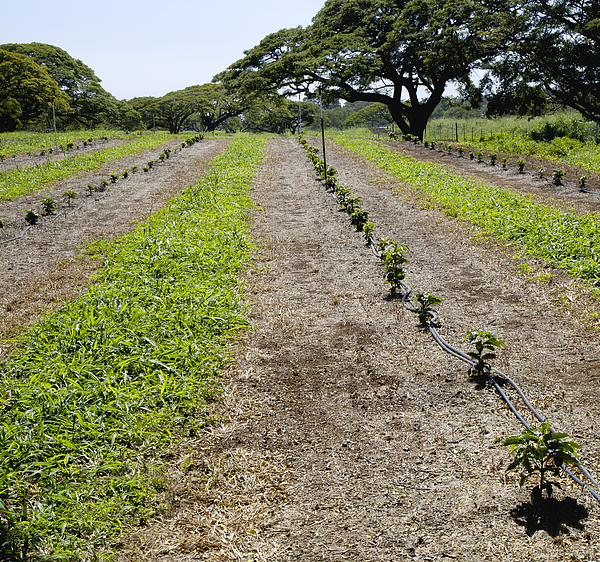 Rows Of Young Coffee Trees Photograph by Timothy Hearsum