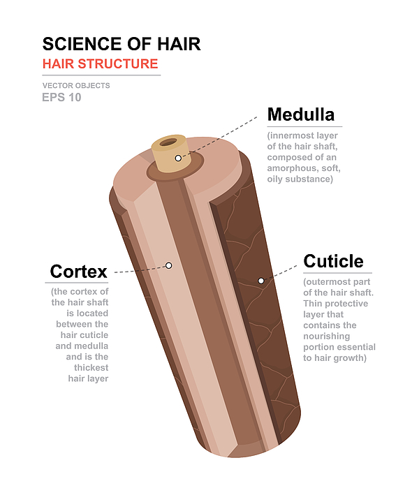 Science of hair. Anatomical training poster. Hair structure. Detailed medical vector illustration Drawing by Iv__design