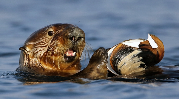 Sea Otter With Clam Photograph by Pat Gaines