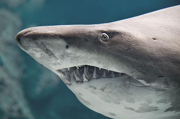 Shark fish Photograph by S1murg