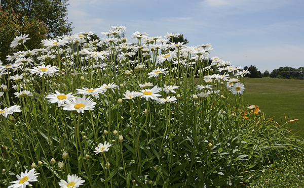 Shasta Daisies Photograph by Deb Perry