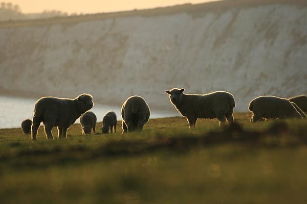 Sheep Photograph by s0ulsurfing - Jason Swain
