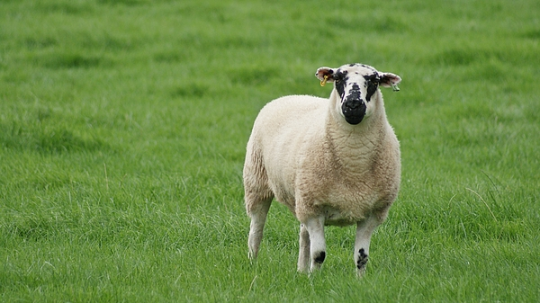 Sheep with ear tags in the English countryside Photograph by Kim MacKay