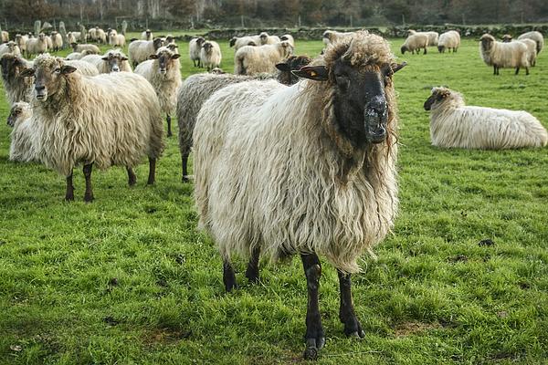 Sheeps Photograph by Brais Seara