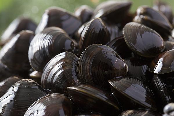 Shijimi,freshwater clam Photograph by Kazoka30