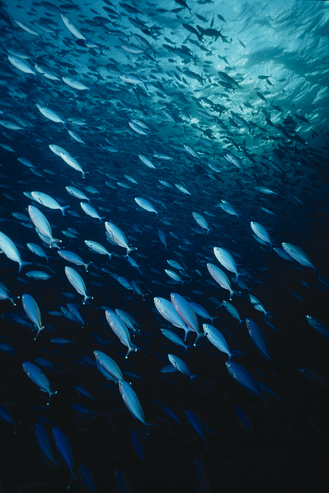 Shoal of Bluefishes Photograph by Jeff Rotman