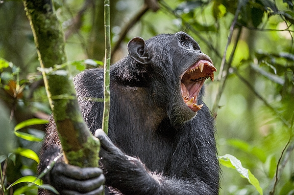 Shouting Angry Chimpanzee. Photograph by Uso