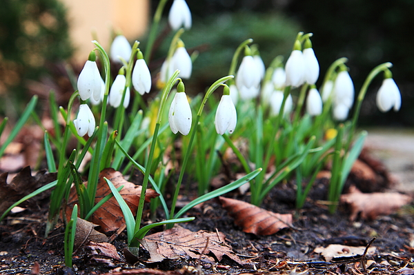 Snowdrops Photograph by Pejft
