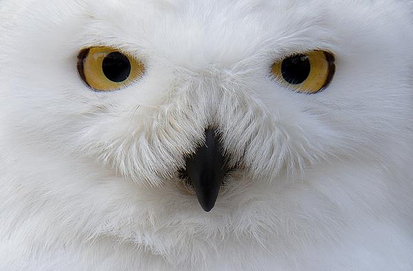 Snowy Owl Photograph by Sam Kirk