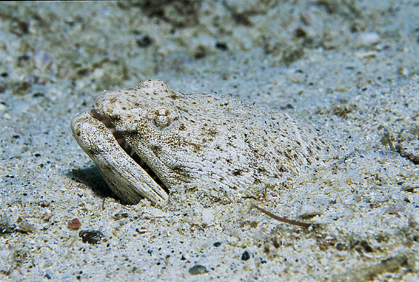 Spotted Spoon-Nose Eel. Photograph by Humberto Ramirez