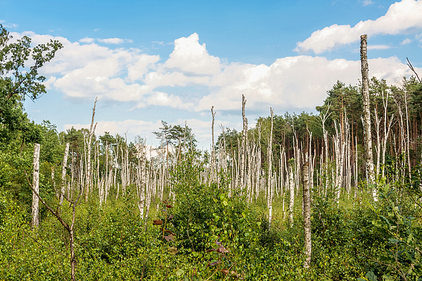 Stumps of dead birch trees Photograph by Patstock