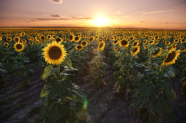Sunflower sunset Photograph by Brad McGinley Photography