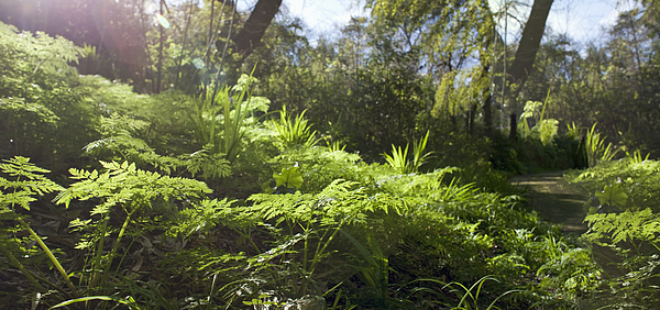 Sunlit Fern, Panoramic Image Photograph by Kathrin Ziegler