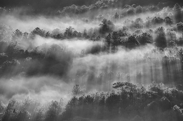 Sunray In Pine Forest Photograph by Thang Tat Nguyen
