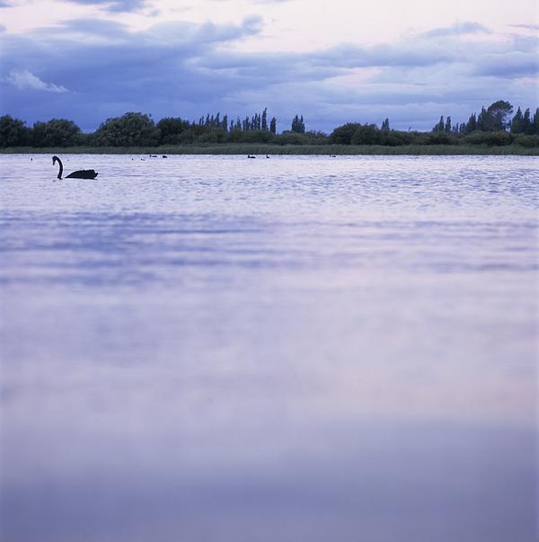 Swan on Lake at Sunset Photograph by Heidi Coppock-Beard