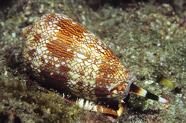 Textile Cone Shell Photograph by Tammy616
