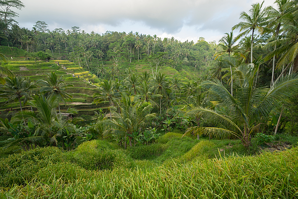 the cultural village of Ubud is an area known as Tegallalang that boasts the most dramatic terraced rice fields in all of Bali in Indonesia. Photograph by Shaifulzamri