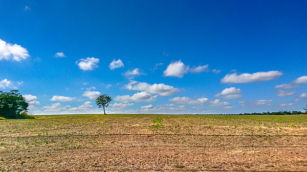 The loneliness of the tree in the middle of the soy plantation in the rural area of Piracicaba. Photograph by CRMacedonio