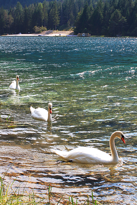 Three Swans Photograph by Emya Photography