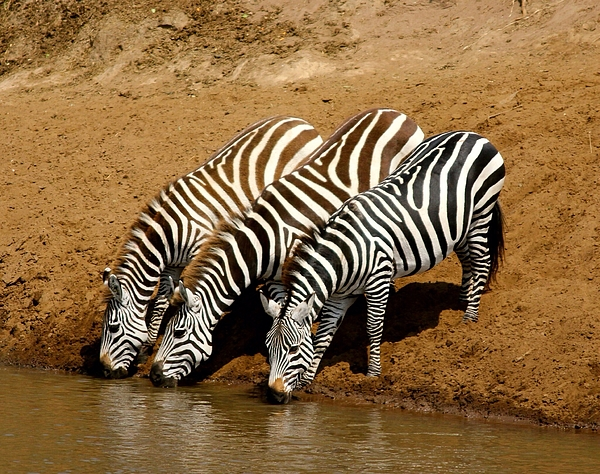Three Zebras Drinking Water Photograph by Nuria Camacho / EyeEm