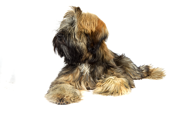 Tibetan Terrier Photograph by Agency Animal Picture