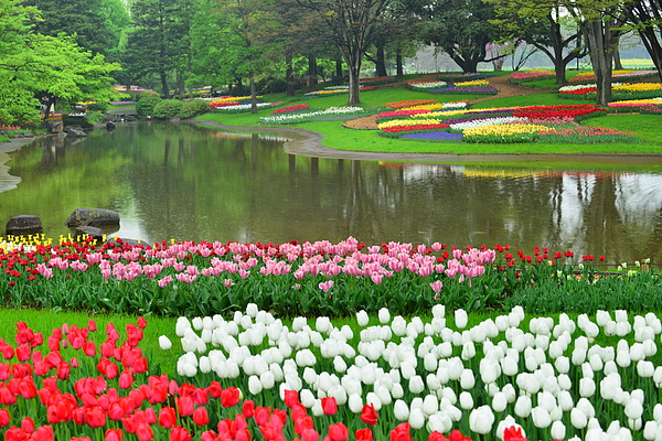 Tulip Flowers At Showa Commemorative National Governmaent Park Photograph by Magicflute002