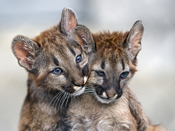 Two Puma Babies Very Close Photograph by Picture by Tambako the Jaguar