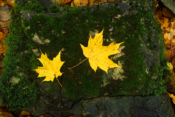 Two Yellow Maple Leaves On Mossy Paving Stone Photograph by Frank Schiefelbein / EyeEm