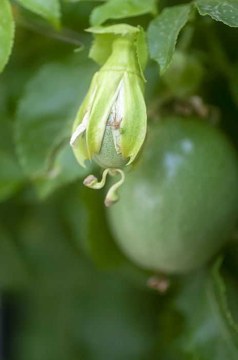 unripe fruit of a Passiflora vine Photograph by PhotoStock-Israel