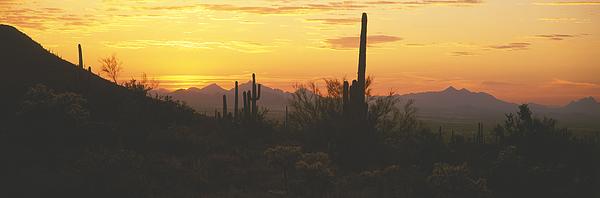 USA, Arizona, Saguaro Cactus National Monument, Saguaro cactus, sunset Photograph by Timothy Hearsum