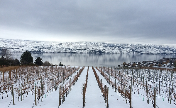Vines in winter Photograph by Stephanie Conn