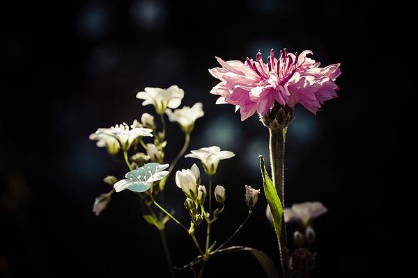 Vintage Style Cornflower Photograph by William Mevissen
