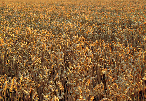 Wheat Field In Summer, Germany Photograph by Ursula Sander