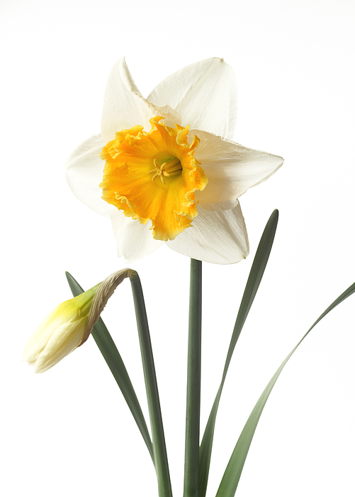 White daffodil with orange trumpet and bud. Photograph by Rosemary Calvert