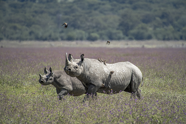 White Rhinoceros With Calf Photograph by Secret Sea Visions