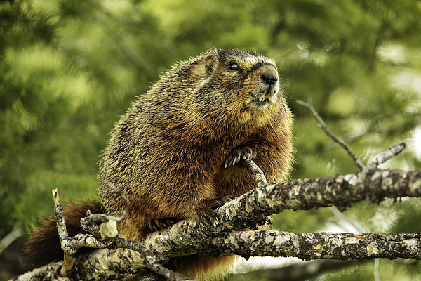 Wild Marmot In A Tree Photograph by Jeff R Clow