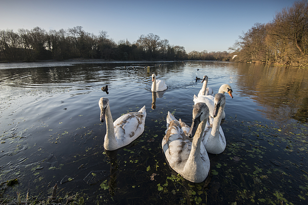 Winter swans Photograph by Ray Wise