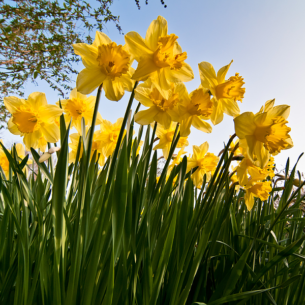 Yellow daffodils Photograph by Ian Grainger