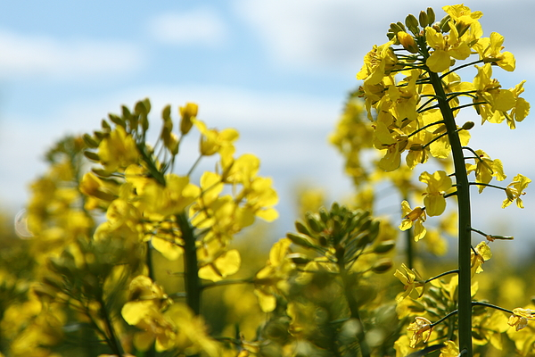 Yellow oil seed rape field (Brassica napus ssp.) Photograph by Pejft