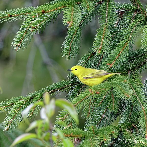Yellow Warbler #2 Photograph