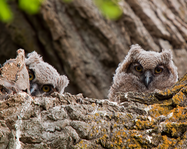 Young Great Horned Owls Photograph by JTBaskinphoto
