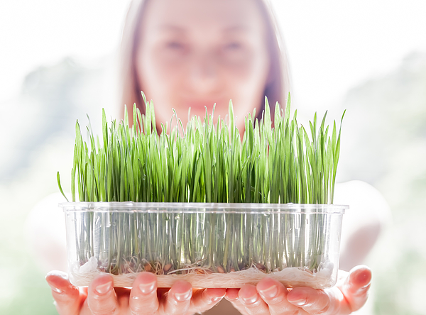 Young woman holding plastic tray with fresh green wheatgrass seedlings Photograph by Alexxx1981