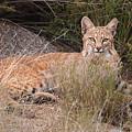 Bobcat At Rest by Alan Toepfer