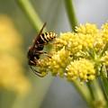 Common Wasp by Jouko Lehto