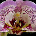 Kiss Of Orchid  by Debra     Vatalaro